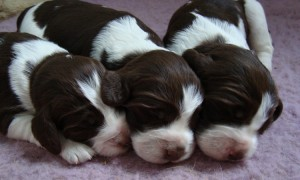 Eastfalla Puppies - 2010