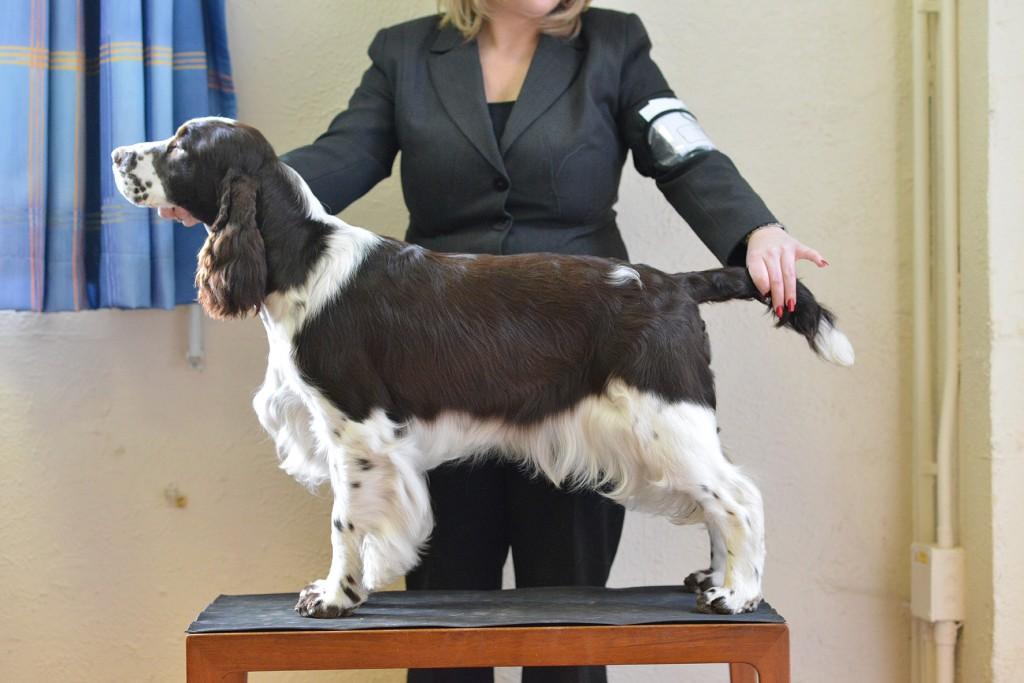 how to groom a cocker spaniel show cut